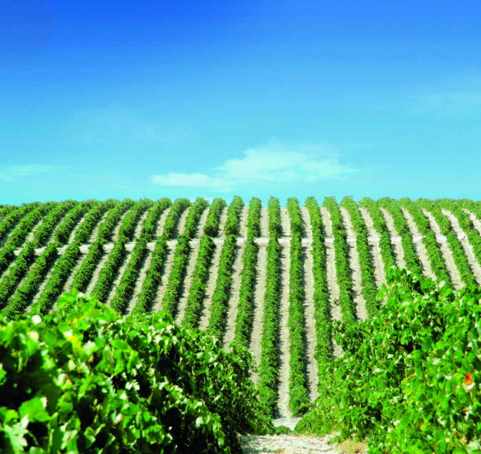 Produced only in the Sherry Triangle in  southwestern Spain (González Byass vineyards pictured), Sherry was once considered one of the world's greatest wines. In recent years, Sherry has begun to reclaim its former prestige.