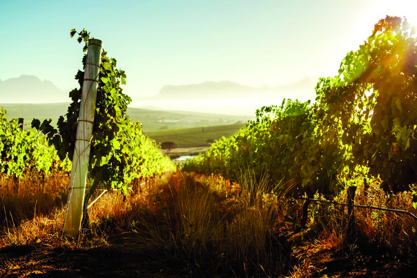 Improved wine quality and grape-growing techniques have bolstered the rosé category. South Africa's Mulderbosch Vineyards (pictured) produces its Cabernet Sauvignon rosé from fruit grown specifically for making pink wine, a rising trend among top quality producers.