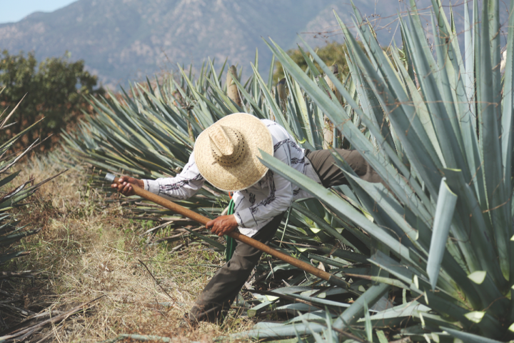 A jimador hand-harvests agave for El Mayor Tequila.