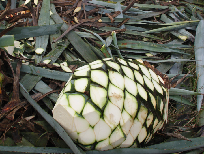 The Tequila category surged 4.5 percent in 2015, driven by increasing consumer sophistication and interest in ultra-premium 100-percent agave offerings (agave field harvest pictured).