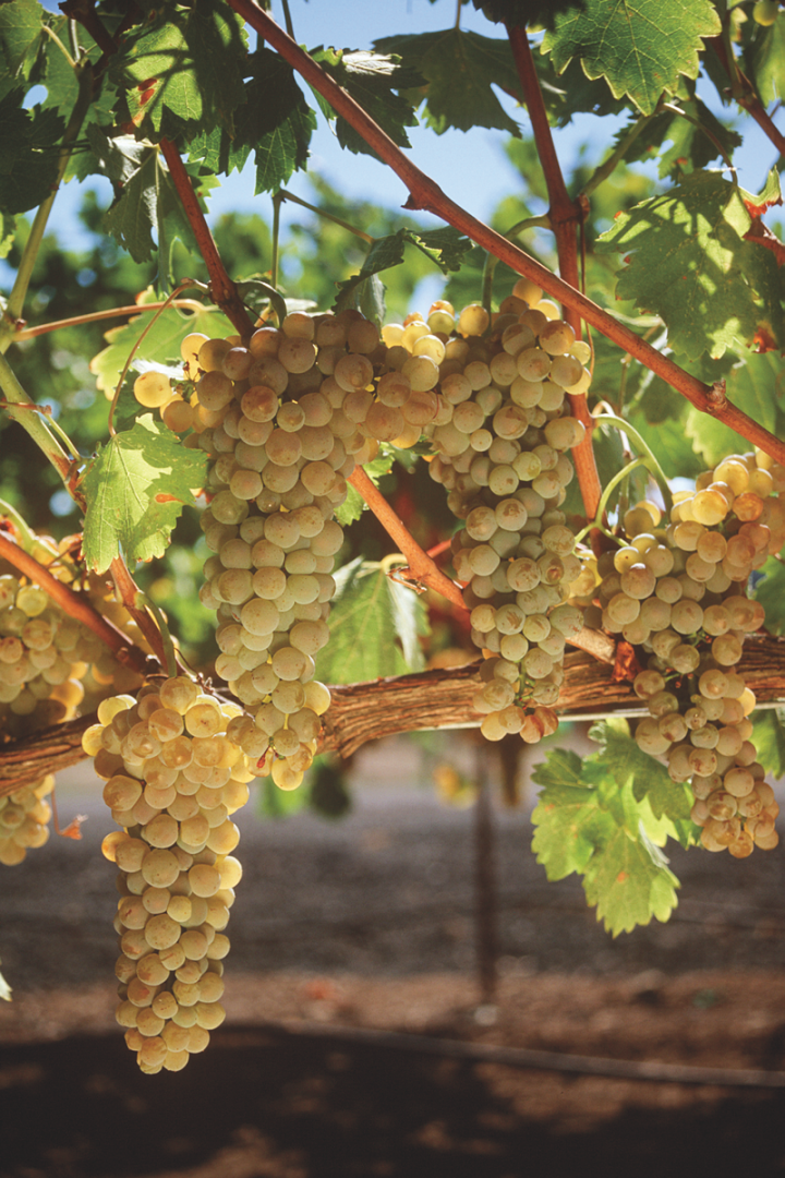 Chardonnay has long been the mainstream wine of choice in California (Chateau St. Jean Chardonnay grapes pictured).
