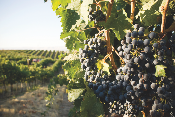 Washington-based Woodward Canyon's two best-selling wines are both Cabernet Sauvignons (Woodward Cabernet grapes pictured).