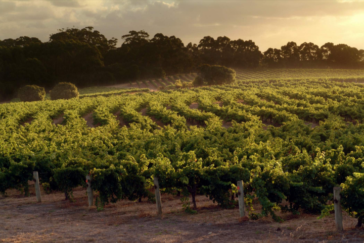Located in Australia's Margaret River region, Old Bridge Cellars' Leeuwin Estates (vineyard pictured) specializes in such maritime climate wines as Chardonnay and Cabernet.