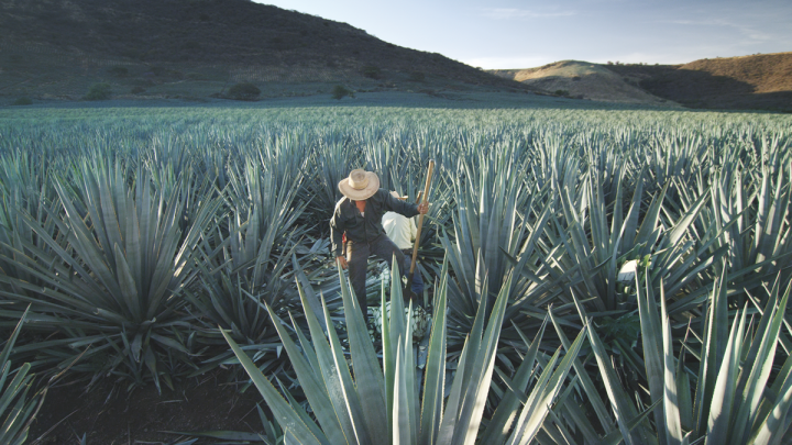With Patrón (agave harvest pictured) fully under its control, Bacardi will now command a 70% share of the luxury Tequila market.