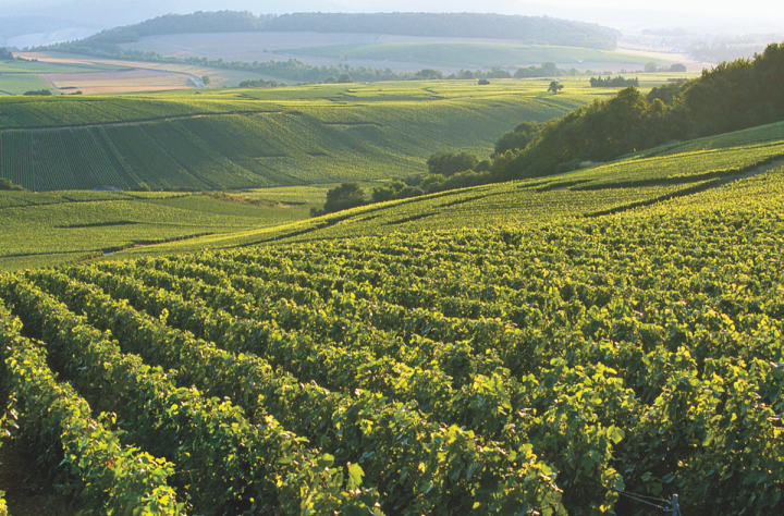 Vintnus' Champagne Bollinger (vineyards pictured) is currently excelling, thanks in part to the growth of the overall Champagne category.