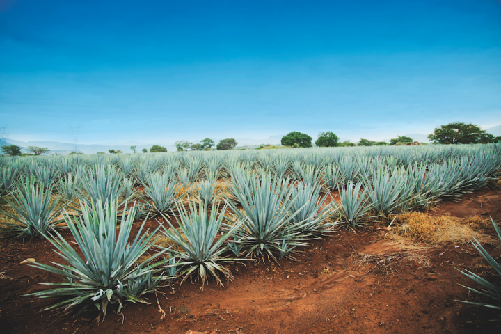 Tequilas made with 100% agave (field pictured) continue to thrive, making up over 50% of the category in 2017. Marketers and retailers are emphasizing the spirit's enjoyment neat and in cocktails.