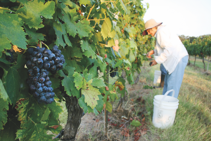 The Kuhlken family has been growing grapes in its Hill Country vineyard (pictured) since 1995.