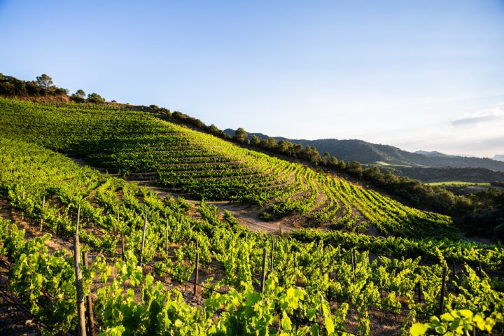 To help increase awareness of its wine in the U.S., Perinet (vineyard pictured) partnered with Napa Valley producer Alpha Omega to gain distribution through its tasting room and DTC channel.