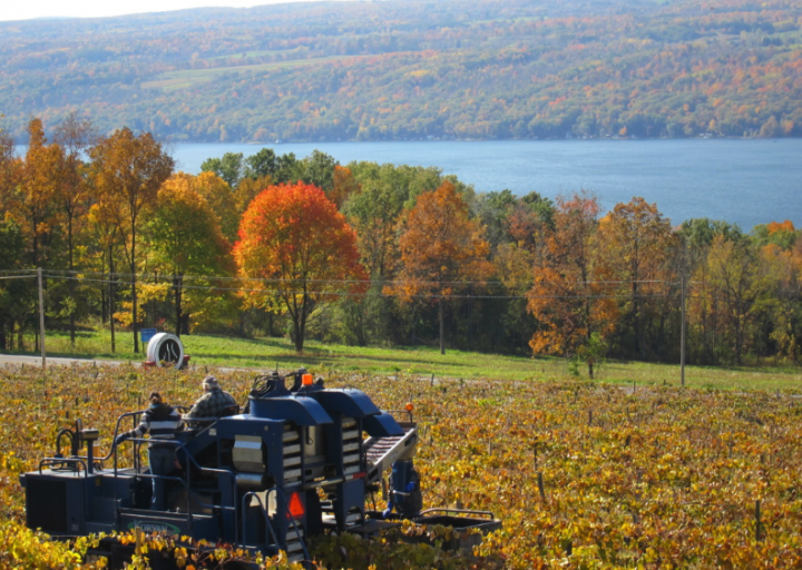 Finger Lakes Distilling (harvest pictured) makes its brandies from fruit grown in upstate New York.