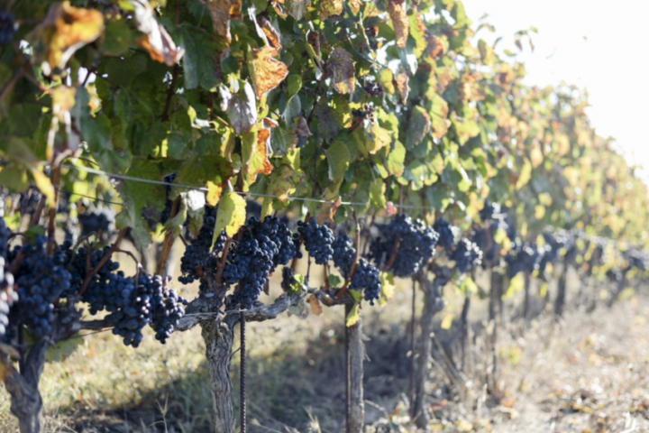 Frescobaldi has increased visibility of its Maremma-based Ammiraglia estate in recent years, lending greater credence to the sub-region (vines pictured).