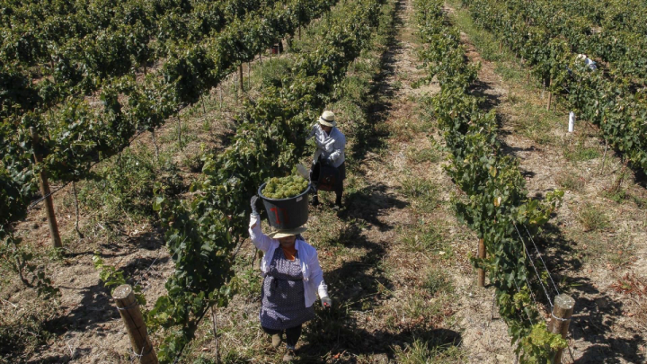 Portugal's varied terroir (Tejo region harvest pictured) allows for production of a wide range of wines. The leading appellation in the United States is Vinho Verde.
