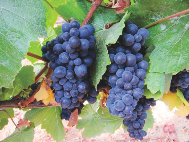 Grapes from Marimar Estate, Sonoma Valley. Some of California's best Pinot Noir comes from Sonoma.
