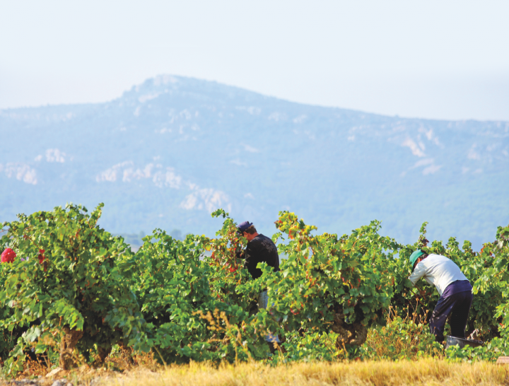 Kermit Lynch Wine Merchants (Fontsainte harvest pictured) offers multiple French rosé SKUs year round.