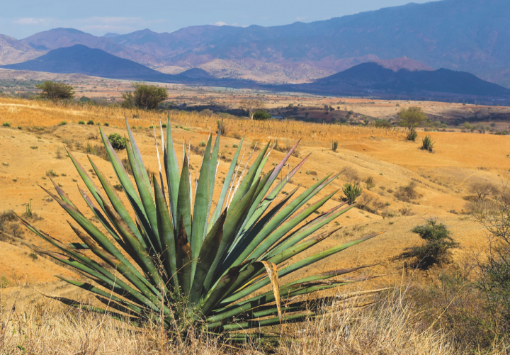 Wild maguey agave (pictured) is one variety used in limited-edition expressions within 3 Badge Beverage Corp.'s Bozal mezcal portfolio.