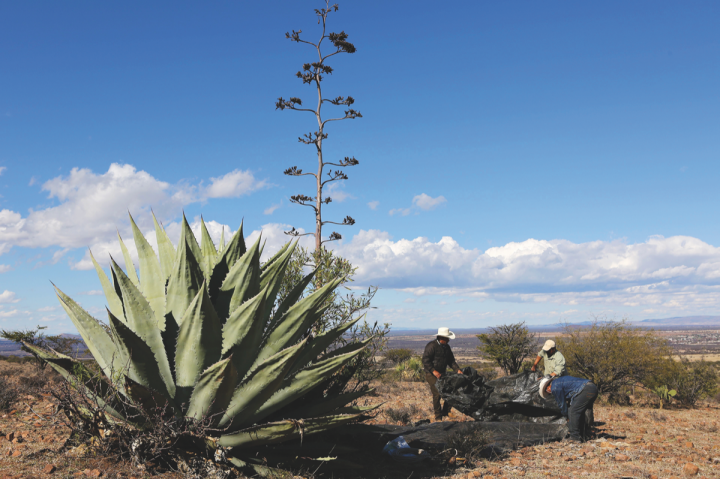 Mezcales de Leyenda (agave harvesters pictured) hasn't felt the sting of rising Espadín agave prices, as it uses a wide variety of agaves.