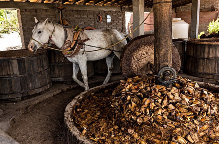 As mezcal's popularity increases (traditional milling process above), agave supply issues are also growing.