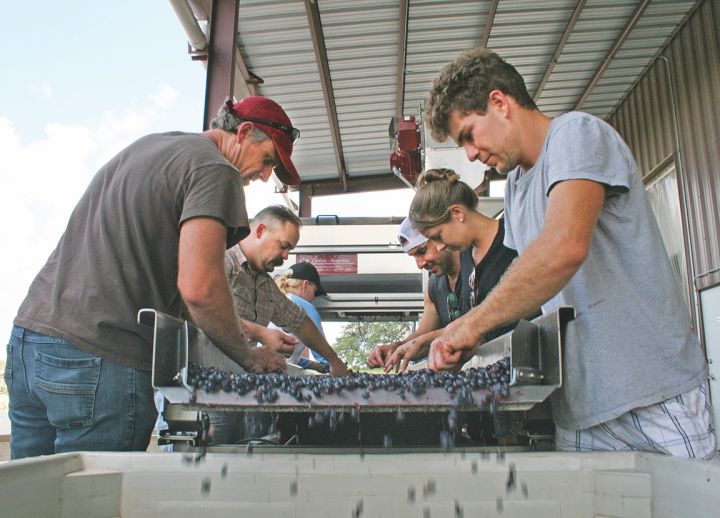Owned by the family behind Kuhlken Vineyard, Pedernales Cellars (grape sorting pictured) focuses on grape varietals that suit the Hill Country's unique geography.