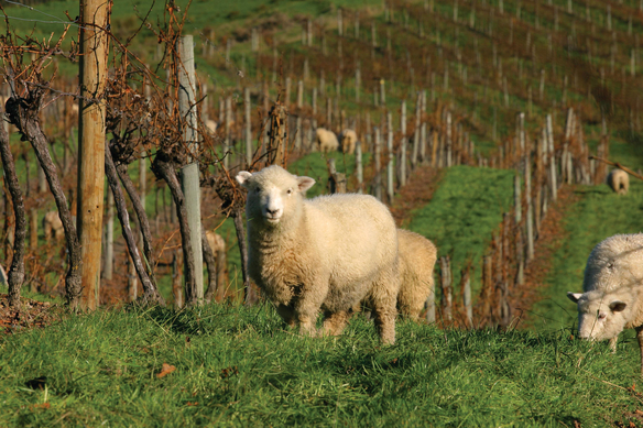 Sustainability comes naturally to New Zealand winemakers. Seifried Estate Winery relies on sheep (pictured) to clean up weeds and fertilize, rather than machines and sprays.