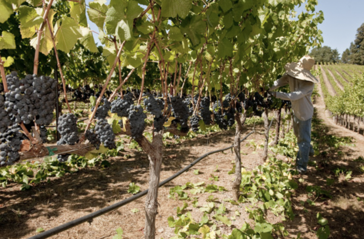 Duckhorn Wine Co. has a number of prestigious Pinot Noir labels within its portfolio, coming from such brands as Goldeneye (Confluence vineyard Pinot Noir harvest pictured) and Migration, as well as Kosta Browne, which the company acquired in 2018.