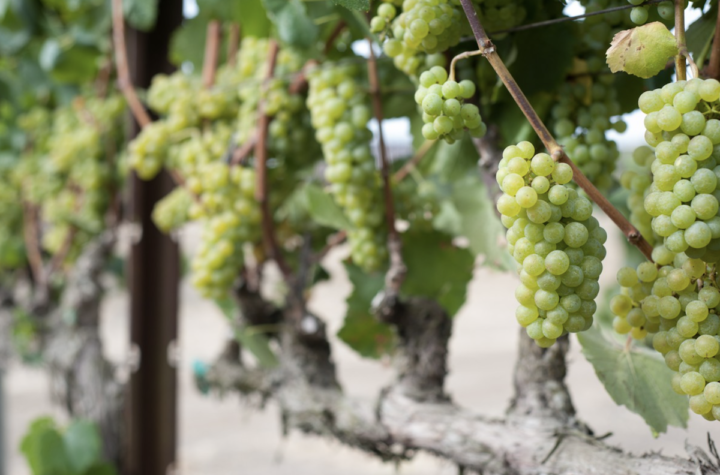 Sonoma County Pinot Noir and Chardonnay (Balletto Vineyards grapes pictured) continues to make gains.
