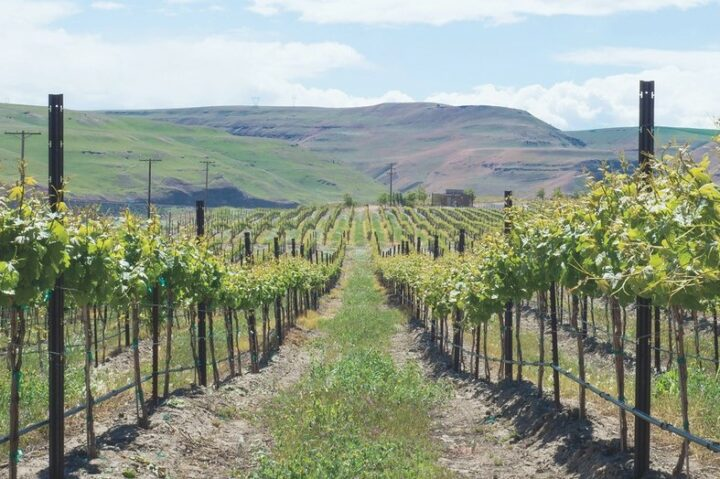 Declines for Ste. Michelle (Borne of Fire's The Burn Vineyard pictured) have skewed the overall perception of Washington wine, but the 2020 vintage currently looks to be an extremely strong one.