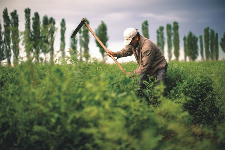 Despite the challenges, gin performed well in the U.S. in 2020. Innovation and consumers trading up are helping the bontanical-based spirit (Bombay licorice farm pictured) regain traction from its years-long decline.