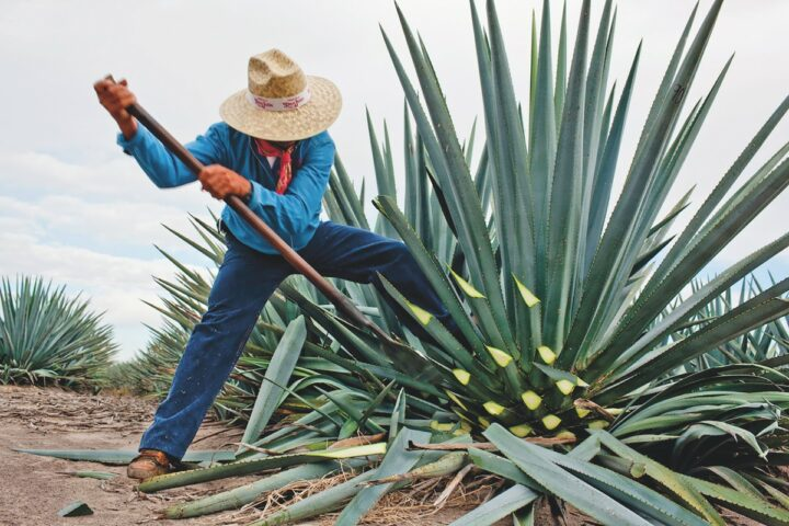 Despite the on-premise shutdown and other Covid-19 issues, Tequila—especially at the higher end—saw major growth in 2020. Luxury brand Don Julio (jimador pictured), the No.-5 Tequila in the U.S., leaped 24.5% to 1.1 million cases last year.