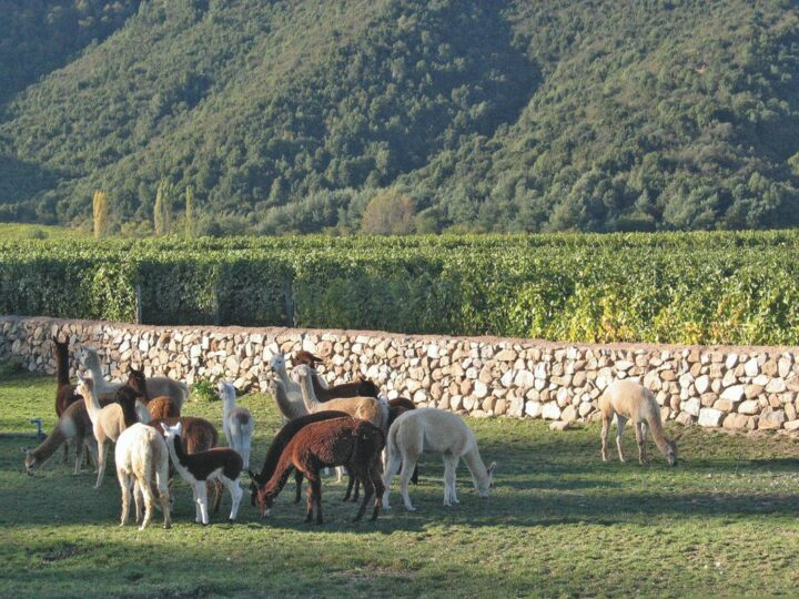 Environmental responsibility is a major focus for Chilean producers. Banfi's Natura (vineyard llamas pictured), a certified organic, vegan, gluten-free brand, has long focused on sustainability and purity, and is now seeing more dialogue on social media.