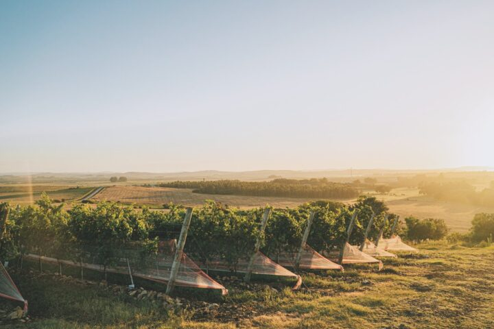 On the strength of the Tannat varietal, Uruguayan wines (Bodega Bouza vineyard pictured) are looking to carve out a segment of the South American wine sector in the U.S.