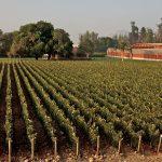 在Almaviva在智利上普恩特葡萄园的波尔多葡萄品种行