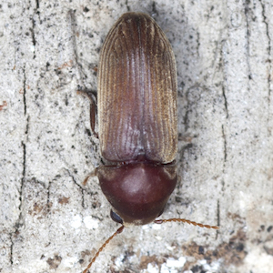 A powderpost beetle, which threatens the structural security of whiskey warehouses, pictured on what appears to be a wooden surface.