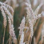 stalks of wheat in a field