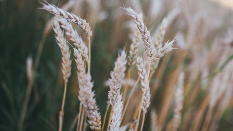 stalks of wheat in a field