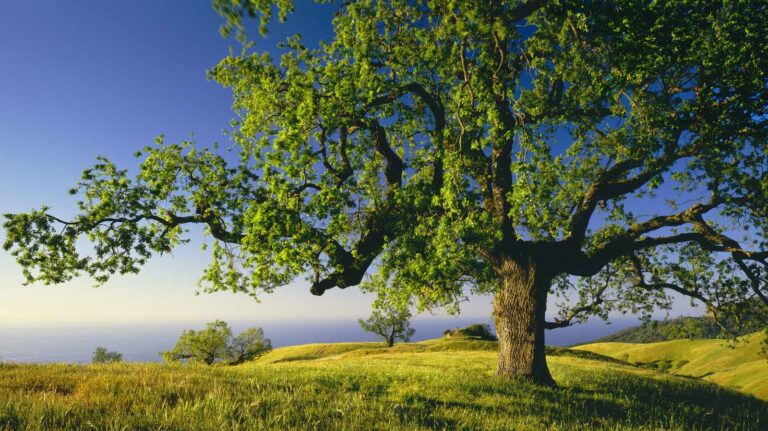 Oak Tree On Ridge Of The Coast Range Above The Big Sur Coast California